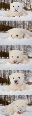 Bear Cocaine Meme - polar bear cub eating snow imgur