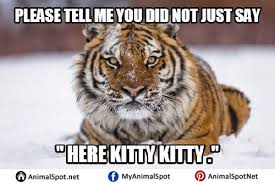Tiger Meme - tiger memes