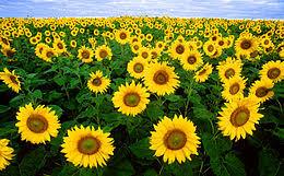 تصویر  دانلود مقاله محاسبه تبخير و تعرق گياه آفتابگردان