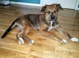 australian shepherd spaniel mix anatolian shepherd mix with pit bull and great pyrenees allmutt com