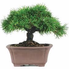 mugo pine bonsai tree walmart com