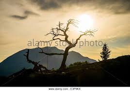 tree of crows stock photos tree of crows stock images alamy