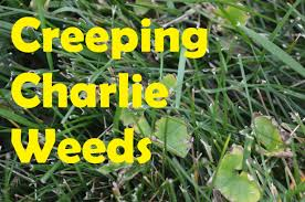how to get rid of creeping charlie ground ivy in lawn part 1