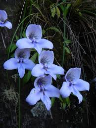 south african native plants blue drip disa orchid disa longicornu location table mountain