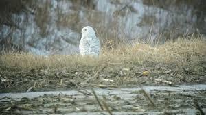 snowy owl deerfield massachusetts north meadows final version