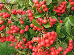 trees that berries in winter hunker