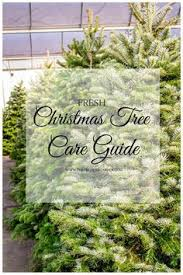 how to pick the best fresh christmas tree christmas tree fresh