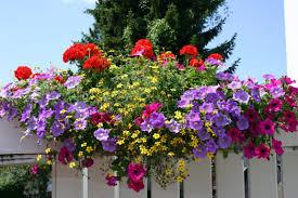 balkon blumen beetblumen balkonblumen gärtnerei fischer burglengenfeld