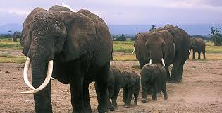 unforgettable elephants echo s family tree nature pbs