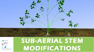 Vegetative Propagation By Roots - sub aerial stem modifications youtube
