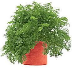 Houston Urban Gardeners - grow carrots in a pot urban gardening urban gardening edible
