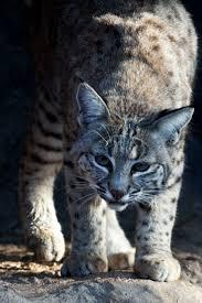 1028 best big cats images on pinterest wild animals animal