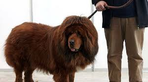 lion dogs world s most expensive dog picture photo tibetan mastiff