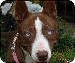 australian shepherd cattle dog godiva adopted dog kingwood tx australian shepherd cattle
