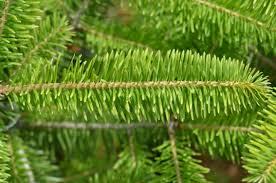 ontario native plants balsam fir ontario native plant nursery container grown 705