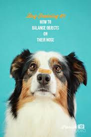 training a australian shepherd dog training how to teach a dog to balance things on its nose