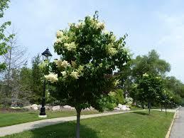 Pom Pom Trees Parkway Tree Replacement Program Village Of Bartlett