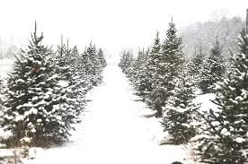 Pine Tree Barn Wooster Oh Cut Your Own Christmas Tree Farms Are Ready For Holiday Crowds