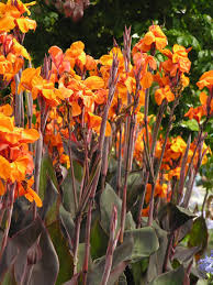 canna lilies pictures of canna lillies canna care indoor favorite