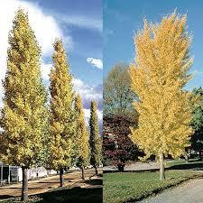 9 best top10 narrow trees images on garden plants