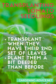 Urban Gardening Tips Tomato Growing Tips For Beginners