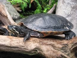 Ringed Map Turtle Pond Slider Wikipedia