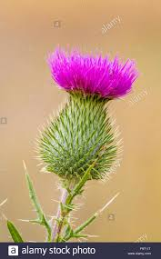 native ontario plants bull thistle cirsium vulgare a nonnative plant on manitoulin