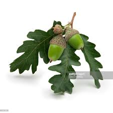 White Oak Leaf Sprig Of Acorns And Oak Leaves Stock Photo Getty Images
