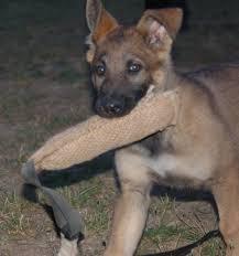 belgian sheepdog breeders pa sequoyah german shepherds