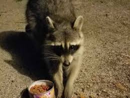trash panda u0027s got a trick for the kitties funny