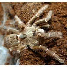 ceratogyrus darlingi horned baboon tarantula virginia