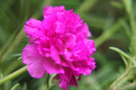 carnation flowers pink public domain pictures