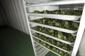 this is what it looks like inside a legal pot grow op toronto star