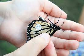 monarchs indiana wildlife federation