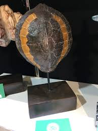 Tortoise Home Decor by Tortoise Shell On Stand Home Decoration Gift Unique Decor Feature