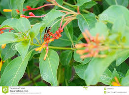 native plants in florida bee on firebush shrub in florida stock photo image 54869810