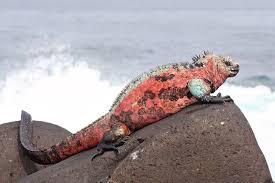 file marine iguana espanola jpg wikimedia commons