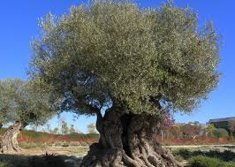 olive tree wiki