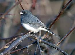 Pennsylvania birds images Common gbbc birds audubon pennsylvania jpg