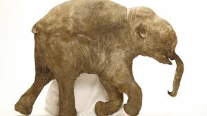 scientists bring woolly mammoths