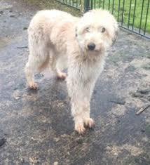 bedlington terrier stud bedlington terrier cross whippet animal pinterest bedlington