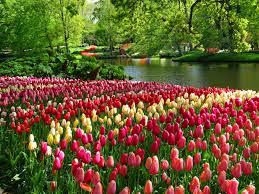 keukenhof flower gardens keukenhof tulip gardens