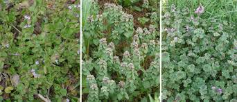 henbit purple deadnettle and ground ivy all look very similar