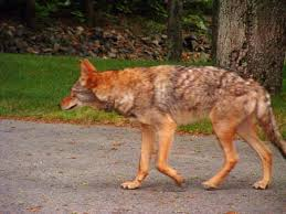 Coyote In My Backyard Living With A Large Coyote Or Coywolf In The Neighborhood My
