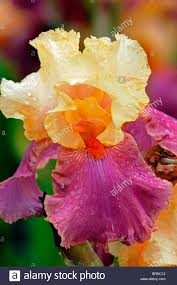 Apricot Color Iris Frimousse Bearded Iris Germanica German Iris Rhizomatous