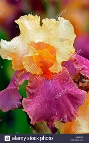 iris frimousse bearded iris germanica german iris rhizomatous