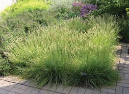 ornamental grasses for shady spots american nurseryman