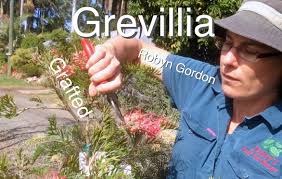 grafted grevillea tree robyn gordon australian native flowering