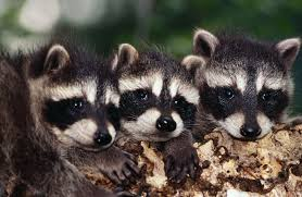 how to tell a male from a female raccoon animals mom me
