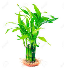 leaf ribbon growthing green beautiful leaves of ribbon dracaena lucky bamboo